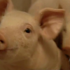 Patent For A Pig: The Big Business Of Genetics
