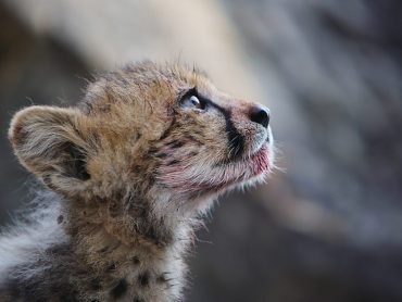 Cheetahs: Growing up fast
