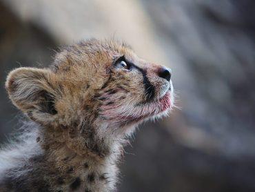 Cheetahs: Growing up fast