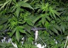 Cannabis Cultivation: I grow Green