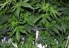 Cannabis Cultivation: I grow Green