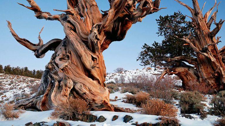 The Curse Of The Methuselah Tree