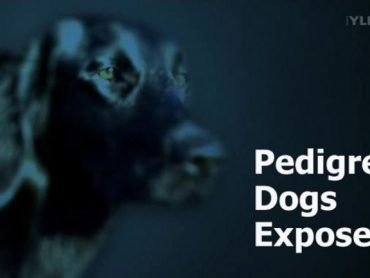Pedigree Dogs Exposed: Three Years On