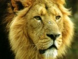 The Last Lions of India