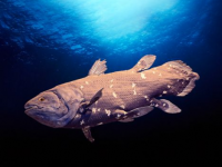 Coelacanth: The Fish That Time Forgot