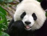 Panda Makers