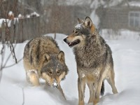 Wolves in Chernobyl Dead Zone