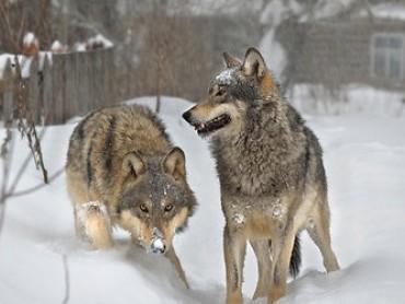 Wolves in Chernobyl Dead Zone