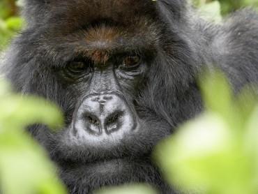 The Gorilla King